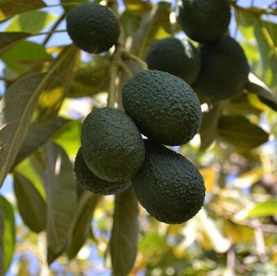 Grow an avocado