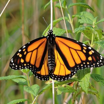 See a Monarch Butterfly