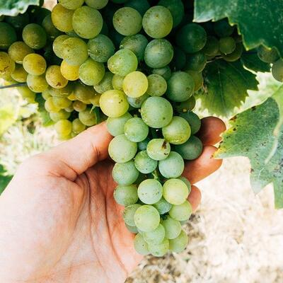 Pick grapes
